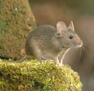 Mice Control Wood Green