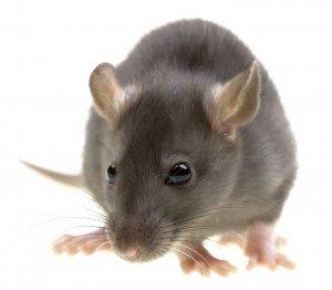 Rat Control London