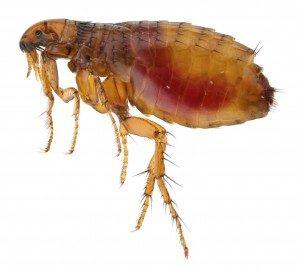 flea control london
