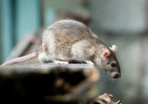rodent control Edgware